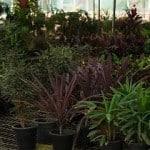 צמחים לגינה