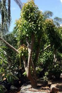 עצי אבוקדו