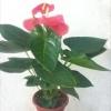צמחי בית אנטורין