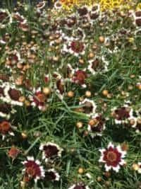 גיירדיה גדולת הפרחים