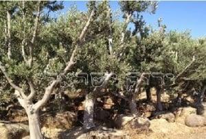 עצי זית לגינה
