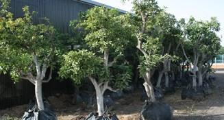 האחרון משתלות ירוק ישראלי - משתלה | דשא סינטטי | עצים לגינה | עציצים RA-74