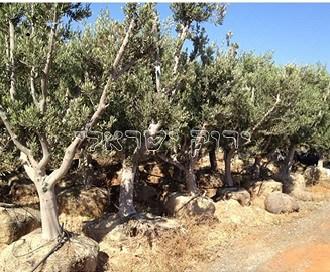 למעלה עצי זית - משתלות ירוק ישראלי - משתלה | דשא סינטטי | משתלת עצים KL-84