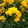 קוסמוס צהוב