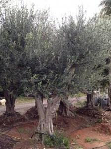 משתלת עצי זית