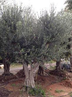 מודרניסטית עצי זית עתיקים למכירה - משתלות ירוק ישראלי - משתלה | דשא סינטטי HR-19