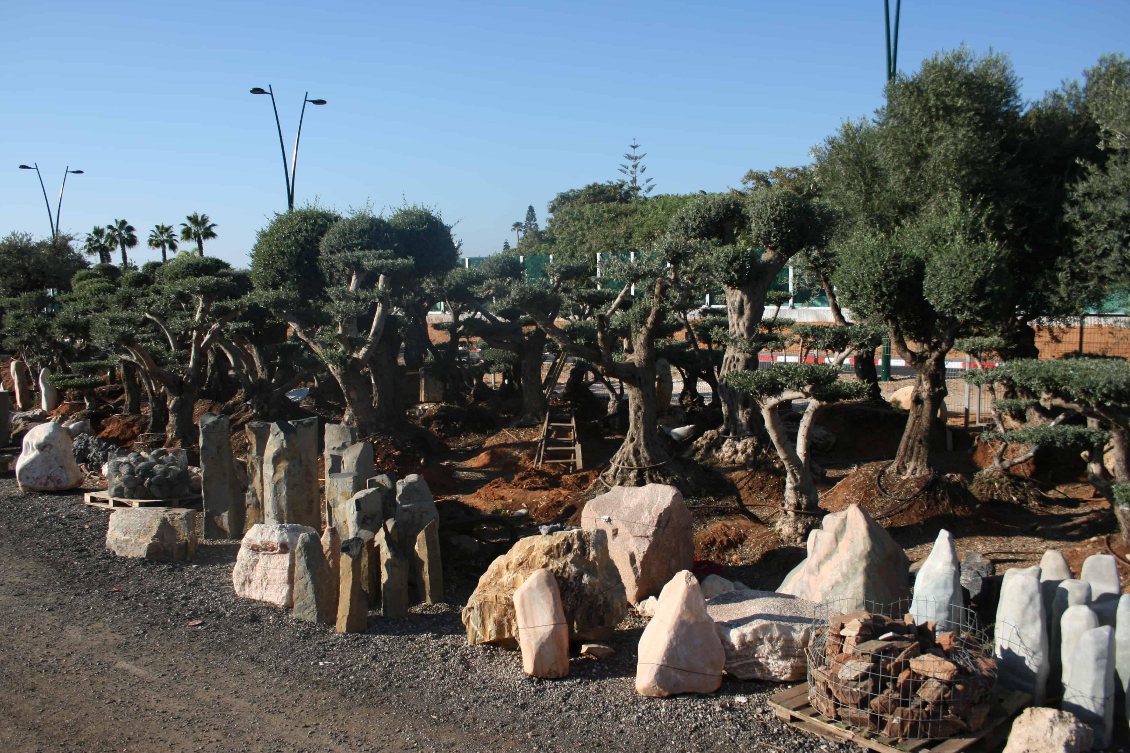 ענק עצים לגינה - עצים למכירה - משתלות ירוק ישראלי EV-06