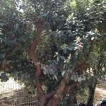 עצי פג'ויה