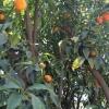 עצי פרי הדר תפוז קונגווט