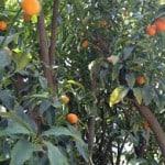 עצי הדר