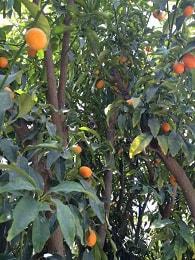 עצי הדר לגינה