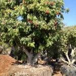 עצי ליצ'י