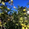 עצי לימון אמריקאי
