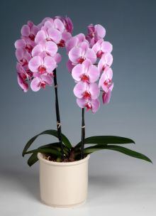 orchid -3