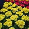 בכור האביב