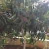 עצי מנגו מאיה