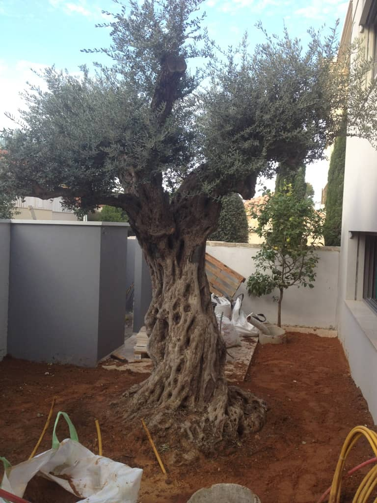עדכני משתלת עצי זית עתיקים - משתלות ירוק ישראלי - משתלה | דשא סינטטי WY-05