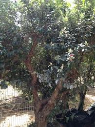 עץ פג'ויה