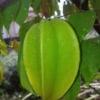 עץ קרמבולה