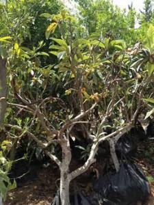עץ שסק