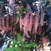 עצי מקדמיה