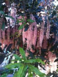 עצי אגוז מקדמיה