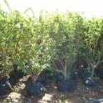 עצי גויאבה