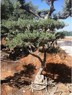 מגה וברק עצי זית בונסאי למכירה - משתלות ירוק ישראלי - משתלה | דשא סינטטי IK-68