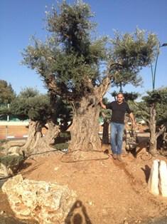 מעולה  עצי זית עתיקים למכירה - משתלות ירוק ישראלי - משתלה | דשא סינטטי GP-07
