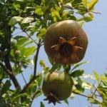 עצי רימון