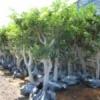 עצי פרי הדר אשכולית