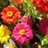 צמח ציניה פרופיוזן