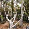 עצי תאנה