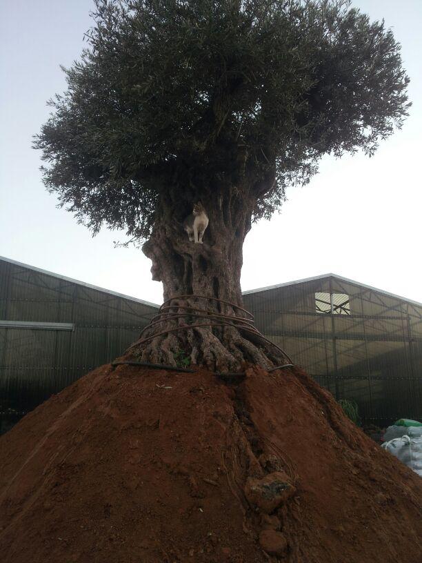 מעולה  משתלת עצי זית עתיקים - משתלות ירוק ישראלי - משתלה | דשא סינטטי BQ-43