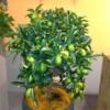 עצי פרי הדר תפוז ננסי