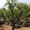 עצי פרי הדר תפוז