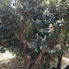 עצי פג'ויה תרבותית
