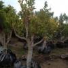 עץ קלמנטינה אור
