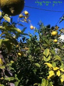 עצי לימון