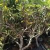עץ שסק בוגר