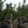 עצי פרי הדר תפוז ולנסיה