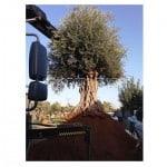 עצי זית עתיקים