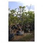 עץ גויאבה