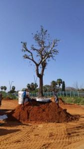 עצי אלון