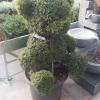 צמחי הדס מעוצבים ירוק ישראלי
